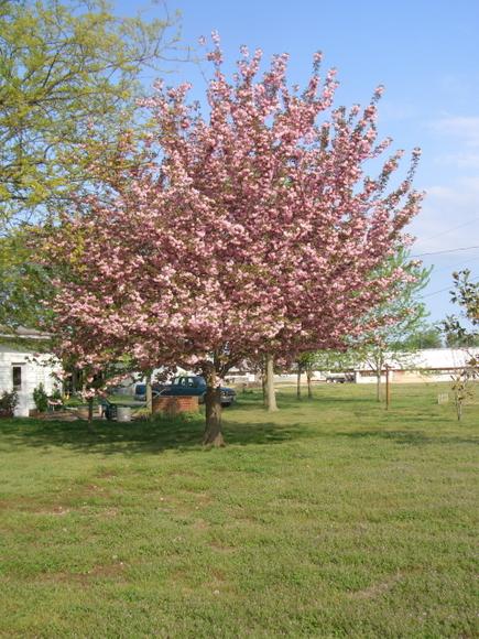 OW HA  Quanson Cherry Tree