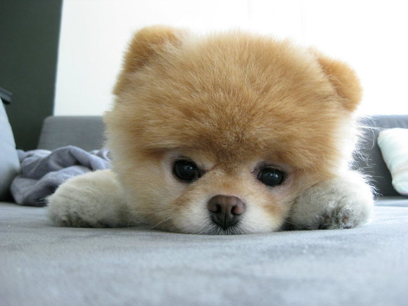 Teddy Bear Pomeranian Cut http://natural-order-guild.com/content/boo-dog